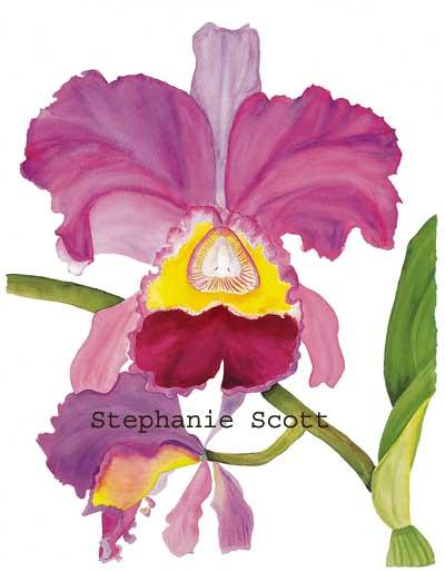 Quot Cattleya Orchid Quot Botanical Print By Stephanie Scott