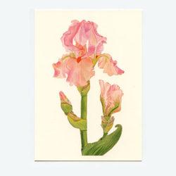 Bearded-Iris-Blossom-&-Bud-Notecard-Cream