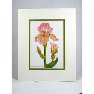 Bearded-Iris-Blossom-&-Bud,-White.Green Pear