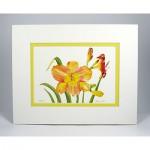 Daylilies,-White.Yellow