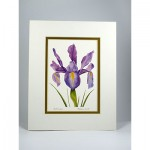 Dutch-Iris,--White.Goldjpg