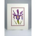 Dutch-Iris,White.Lavender