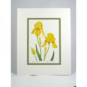 YellowB.Iris,-White.GP