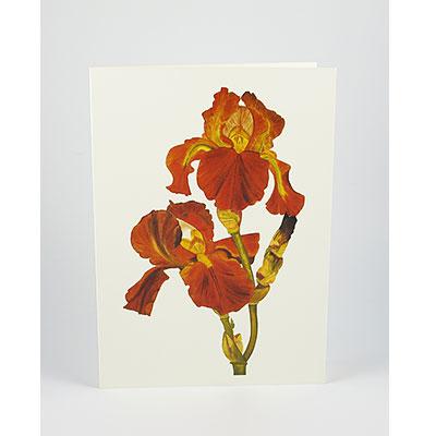 Bronze-Iris-White-NC-SC