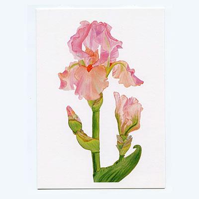 Bearded-Iris-Blossom-&-Bud-Notecard-White-2-